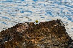 Flor en roca Imagenes de archivo