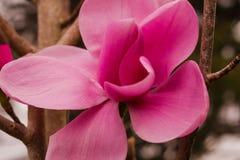 Flor en flor rosada de la magnolia Imágenes de archivo libres de regalías