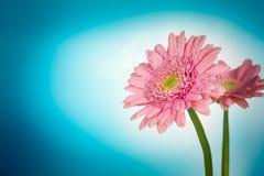 Flor en un fondo azul Foto de archivo libre de regalías