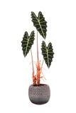 Flor en un sanderiana del Alocasia del pote Imagen de archivo libre de regalías