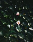 Flor en una charca Foto de archivo libre de regalías