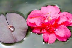 Flor en una charca Fotos de archivo