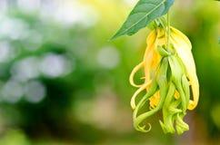 Flor enana del Ylang-Ylang Foto de archivo libre de regalías