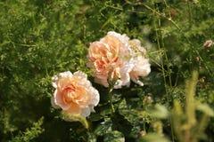 Flor encantador nas montanhas de Quirguizistão imagem de stock royalty free