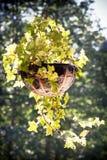 Flor encaracolado que pendura no busket Imagem de Stock Royalty Free