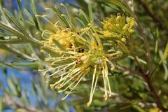 Flor encrespada golosina del australiano   la especie amarilla del grevilla atrae abejas de la miel y pájaros nativos. Fotografía de archivo