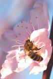 Flor enfocada suavidad de la cereza con la abeja Imagen de archivo libre de regalías