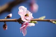 Flor enfocada suavidad de la cereza con la abeja Fotografía de archivo libre de regalías