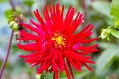 Flor enorme e lindo da dália com pétalas e o sol longos para dentro Imagens de Stock Royalty Free