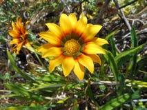 Flor ensolarada - Austrália Imagens de Stock