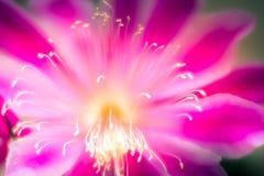 Flor Epiphyllum híbrido do rosa imagem de stock