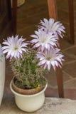 Flor escénica de una planta del cactus Imagenes de archivo