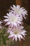 Flor escénica de una planta del cactus Fotos de archivo