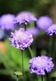 Flor escabiosa púrpura con un fondo natural borroso Imágenes de archivo libres de regalías