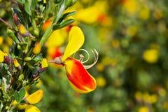 Flor escocêsa da vassoura (scoparius do Cytisus) Fotografia de Stock