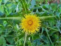Flor espinhosa 1 de Sowthistle Fotos de Stock Royalty Free