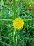 Flor espinhosa 2 de Sowthistle Foto de Stock