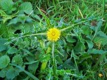 Flor espinhosa 3 de Sowthistle Foto de Stock Royalty Free
