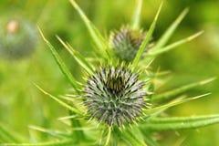 Flor espinhosa do Burdock Fotos de Stock