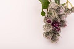 Flor espinhoso em um fundo branco Imagem de Stock
