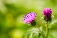 Flor espinosa del Burdock en verano foto de archivo