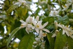 Flor estacional del árbol anaranjado, flores blancas con el olor fuerte imagenes de archivo