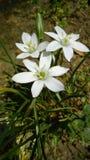 Flor estrellada Imagen de archivo