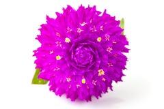 Flor eterna Imagens de Stock