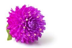 Flor eterna Imagem de Stock