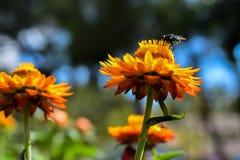 Flor eterna con una mosca de la flor Fotografía de archivo