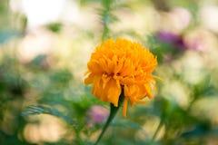 Flor eterna perolado Imagem de Stock Royalty Free