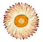 Flor eterna rosada blanca aislada en blanco Foto de archivo libre de regalías