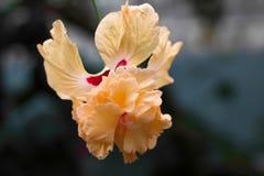 Flor exótica Fotos de Stock Royalty Free