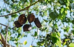 A flor exótica frutifica no ramo com folhas verdes Foto de Stock Royalty Free