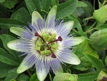 Flor exótica púrpura Cerdeña, Cagliari Belleza de la naturaleza fotos de archivo libres de regalías