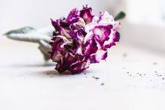 A flor exótica, tropical e colorida em uma flor foliageWithered verde, aumentou com pétalas roxas fotografia de stock royalty free
