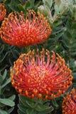 Flor exótica vermelha Imagem de Stock