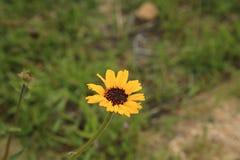 Flor Eyed negro de Susan imagen de archivo