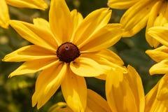 Flor Eyed negro de Susan fotos de archivo libres de regalías