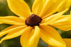 Flor Eyed negro de Susan fotografía de archivo libre de regalías