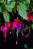 Flor fúcsia Imagem de Stock Royalty Free