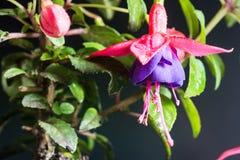 Flor fúcsia isolada no fundo preto Fotos de Stock