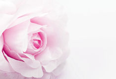 flor falsificada cor-de-rosa no fundo branco, foco macio Fotos de Stock Royalty Free