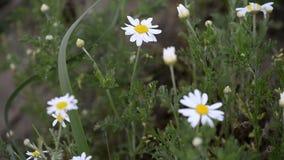 Flor fantástica de la manzanilla salvaje con la hierba y poca hormiga en fondo El vídeo fue tirado en verano almacen de metraje de vídeo