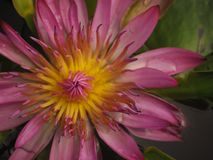 Flor fantástica Loto rosado Imagen de archivo