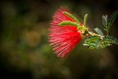 Flor feericamente vermelha do espanador de Baja Imagem de Stock