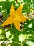 Flor femenina de la calabaza, flor de la calabaza fotografía de archivo libre de regalías