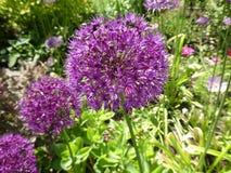 Flor floral del cierre del retrato del estudio del allium encima de la frontera macra del verano de la primavera imagen de archivo libre de regalías