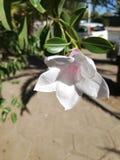 Flor floreciente blanca Foto de archivo libre de regalías