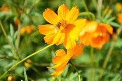 Flor floreciente con la abeja que busca la ligamaza Foto de archivo libre de regalías